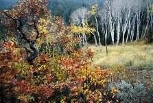 Gambel oak & aspen, Wasatch Range, Summit Park, Utah, 2000