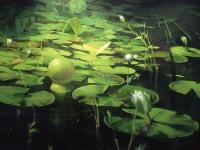 "Lily House, acrylic on canvas, 54"" x 66"""